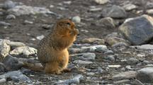 Close Up Tracking Shot Arctic Ground Squirrel Sits Up Eating In Arctic National Wildlife Refuge