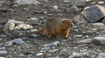 Very Close Up Tracking Shot Arctic Ground Squirrel Sniffs Along Ground Toward Camera In Arctic National Wildlife Refuge