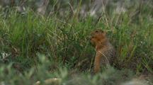 Close Up Lock Shot Arctic Ground Squirrel Nibbles Herbaceous Plant In Arctic National Wildlife Refuge