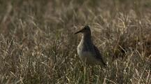 Close Up Lock Shot Backlit Beautiful Pectoral Sandpiper Calls Flies Exits Frame Left In Arctic National Wildlife Refuge
