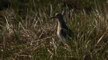 Close Up Lock Shot Pectoral Sandpiper Calls To Chicks Walks Away From Camera In Arctic National Wildlife Refuge