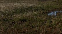 Medium Lock Shot Pectoral Sandpiper Skitters Through Grass In Arctic National Wildlife Refuge
