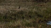 Medium Shot Pan Adult Pectoral Sandpiper Forages And Watches Over Chicks Near Pond In Arctic National Wildlife Refuge