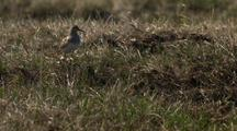 Close Up Lock Shot Adult Pectoral Sandpiper Calls To  Chicks Skittering Through Dry Grass In Arctic National Wildlife Refuge