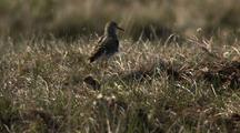 Close Up Track Shot Adult Pectoral Sandpiper And Two Fuzzy Chicks Skitter Through Dry Grass In Arctic National Wildlife Refuge