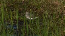 Close Up Track Semi-Palmated Sandpiper In Arctic National Wildlife Refuge