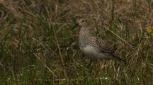 Very Close Up Track Shot Pectoral Sandpiper Adult And Chick Walk Through Green Grass In Arctic National Wildlife Refuge