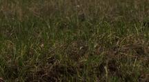 Medium Lock Shot Pectoral Sandpiper Chick Camouflaged Skitters Through Grass In Arctic National Wildlife Refuge