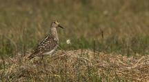 Close Up Lock Shot Nervous Pectoral Sandpiper Stands In Dry Grass Takes Flight In Arctic National Wildlife Refuge