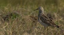 Close Up Lock Shot Pectoral Sandpiper Stands Tall In Grass Watching Runs Away From Camera In Arctic National Wildlife Refuge