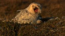 Adult Snowy Owl Screeches And Feeds Fuzzy Chick In Nest