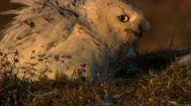 Snowy Owl Chick Pops Head Up Above Nest Edge As Adult Calls