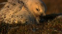 Snowy Owl Chick Takes Food From Adult's Beak In Evening Light