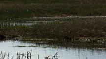 Red-Necked Phalarope Swims To Mud Island Then Pecks At Bugs In Tundra Pond