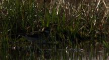 Red-Necked Phalarope Stands In Water Near Grassy Edge Of Tundra Pond