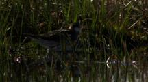 Red-Necked Phalarope Looks For Bugs In Grass At Pond Edge