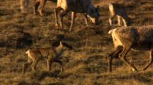 Caribou Calf Playfully Jumps And Skips After Mother In Arctic National Wildlife Refuge