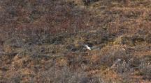 Short-Eared Owl Flies Over Tundra