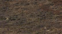 Short-Eared Owl Flies Over Tundra Above Bird's Shadow