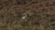 Short-Eared Owl Lift Off With Lemming In Talons Flies Over Tundra
