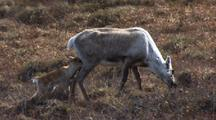 Caribou Graze Along Arctic Tundra Calf Keeps Up And Tries To Nurse National Monument Arctic National Wildlife Refuge Anwr 50th Anniversary