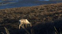 Caribou Mother Grazes In Front Of Resting Calf In Arctic National Wildlife Refuge