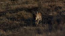 Caribou Calf Walks Toward Camera In Arctic National Wildlife Refuge