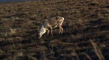 Caribou Graze In Arctic National Wildlife Refuge