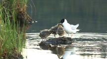 Spotted Bonaparte's Gull Chicklets Wait On Banks Of Pond Then Joined By Mother