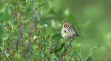 Savannah Sparrow Rests On Tree Branch