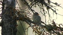White Crowned Sparrow Rests On Tree Branch