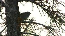 White Crowned Sparrow Hops On Tree Branch
