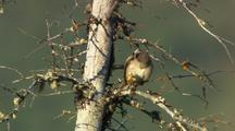 White Crowned Sparrow Preens On Tree Branch