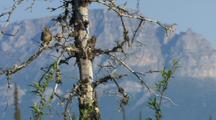Savannah Sparrow Surveys From Tree Branch