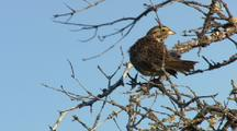 Savannah Sparrow Preens On Tree Branch