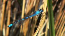 Ecu Bluet Damselfly Clings To Grass Near Pond Gates Of The Arctic National Park