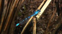 Close Up Bluet Damselfly Clings To Grass Near Pond Gates Of The Arctic National Park