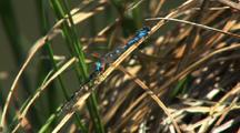 Bluet Damselflies In Grass Gates Of The Arctic National Park