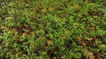 Kinnikinnick Common Bearberry And Labrador Tea