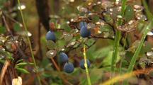 Blueberry Bush And Rain Drops