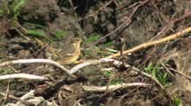 American Pipit Rests In Vegetation