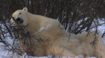 Polar Bear Plays With Brush Pulling And Knawing Humorous