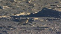 Arctic Fox Runs Through Chunks And Formations Of Pack Ice