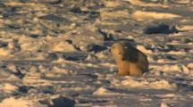 Polar Bear Sits On Pack Ice Listening