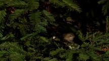 Adult Hummingbird Shuffles Around Brooding And Sits On Chicks
