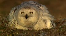 Snowy Owl Sits On Tundra Nest Eating Lemming