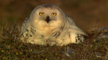 Snowy Owl Sits On Tundra Nest Over Chicks
