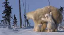Restless Triplets Climb On And Tug Mother Polar Bear Wrestle And Play