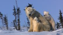 Restless Triplets Climb All Over Mother Polar Bear Trying To Nurse