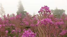 Gentle Breeze Moves Fireweed Blooming Kenai Peninsula Alaska